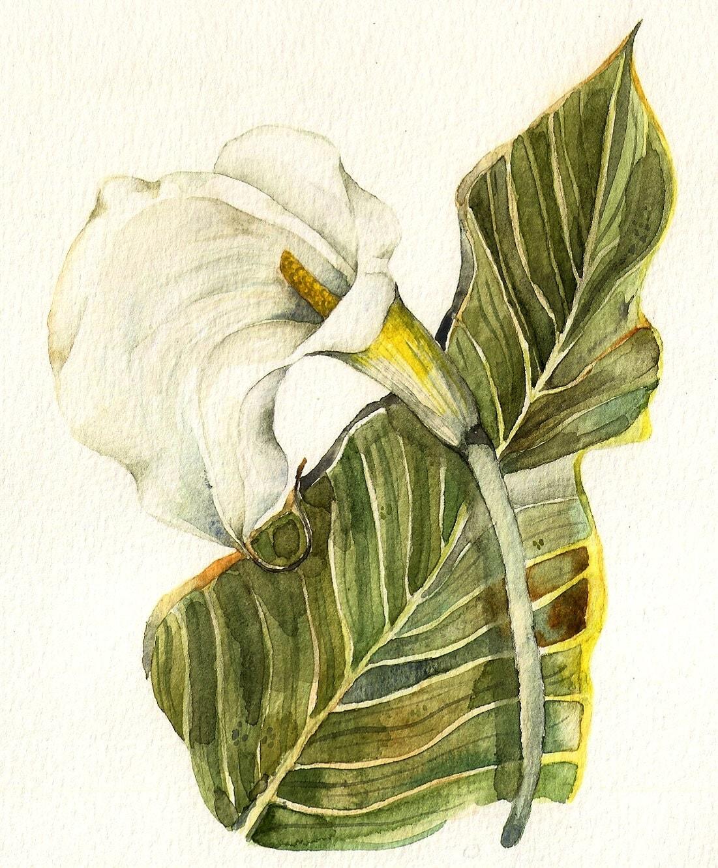 white calla lily original watercolor painting