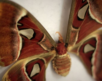 Atllas Moth, mounted butterfly, insect display, butterfly collection, organic
