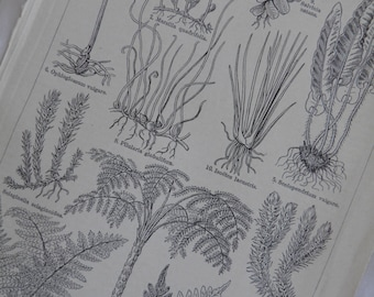 Ferns - German Text Lithograph