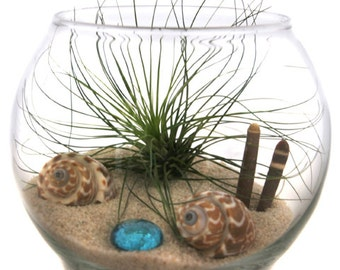 Filiafolia Air Plant in Glass Terrarium - Siesta Key Sands