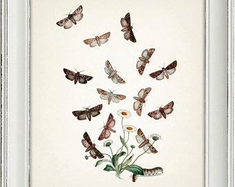 Moth Series no.5  - 8x10 - Fine art print of a vintage natural history antique illustration