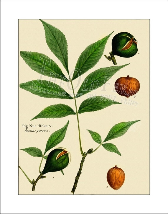 Pig Nut Hickory, Vintage Leaf Print, Antique, Maple, Oak, Tree Print, Michaux, 8x10 Prints, Botanical Nature Art, Wall Decor