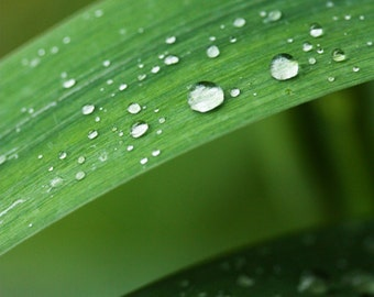 Dewdrops on leaves 8 x 12 fine art photography print