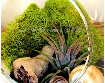 Hanging AIR PLANT TERRARIUM Kit, Glass Orb Globe, Forest Tillandsia AirPlant, Woodland Party Decor Housewarming Gift For Him