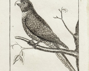 1792 antique parrot print, PARAKEET engraving by Buffon, the parakeet with the blue Copt, 220 years old rare print