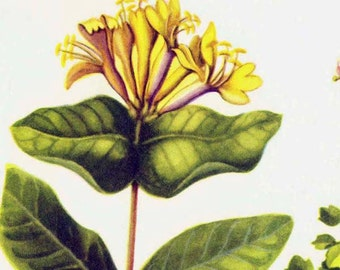 Yellow Honeysuckle & Twinflower Flower Vintage Botanical Lithograph 1950s Print To Frame 191