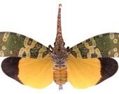 OVERSTOCK: Real Lanternfly, Pyrops candelaria