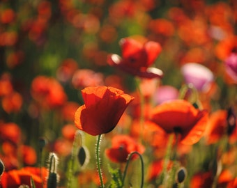 Poppies in May collection No. 8