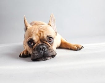 French bulldog (dog photography)