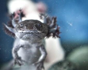 Creature Fine art photo print Portrait of an axolotl Salamander Animal lover wall art Water living Room decor Reptile Creeper Lizard
