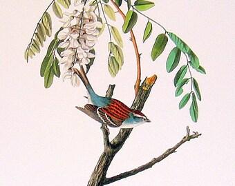 Audubon Bird Print - Chipping Sparrow - Large 1981 Vintage Audubon Bird Book Page
