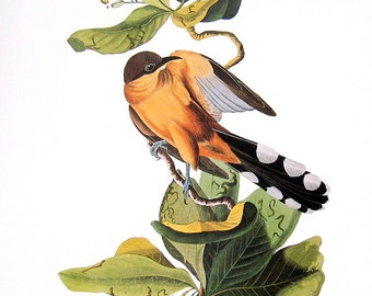 Mangrove Cuckoo - Large Audubon Bird Print 1981 Vintage Book Page