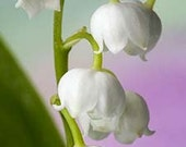 Lily of the Valley 2 Oz Fragrance Oil Candle Soap making Fragrance Oil - Whtie Spring Floral Scented Oil - Supplies - Phthalate-free