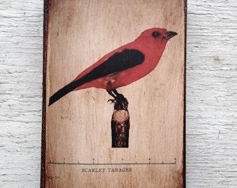 Vintage Red Bird Specimen 1904 -  Small Wall Art