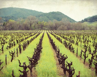 "California vineyard green brown landscape photography grape vines wine country Sonoma County California ""Old Vines"""