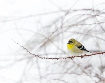 Bird Photography, Goldfinch Print, Nature Photograph, Wall Art, Woodland Animal Print, Yellow Bird - Little Goldfinch