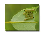 Caterpillars In A Row Photograph Affordable Home Photography Prints Nature Photography Decor Nature Lover Woodland Scene Caterpillar