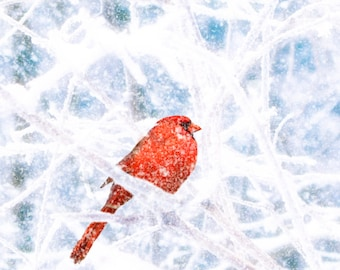 Winter photography, red cardinal, falling snow, bird, forest, northern cardinal, crimson, ice, snow storm, silver, steel blue