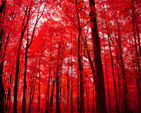 Autumn leaves, tree photography, bright crimson red, blood red, vermillion, Chinese red, canopy, black trees, red and black