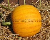 Organic Small Sugar Pumpkin