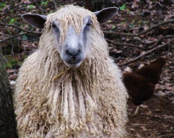 Two Month Sponsorship of Sweet Sheep Named Sol- Educational Gift- Animal Lover Gift- Farm Girl Gift- Holiday Gift- Birthday Gift- Sheep Fun