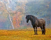 Olaf Contemplates, fine art equine photographic print of beautiful Friesian on a Fall morning