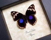Gift Under 15 Real Framed Purple Spot Butterfly Shadowbox Display 8130