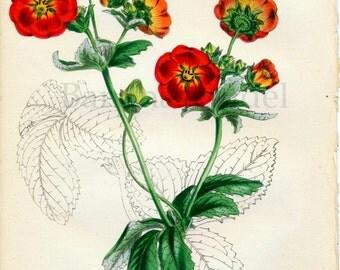 1847 Rare Vintage Botanical Print by Joseph Paxton - Potentilla McNabiana - Handcolored