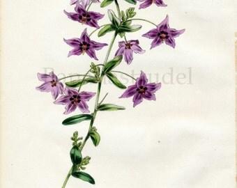 1847 Rare Vintage Botanical Print by Joseph Paxton - Tetratheca Hirsuta - Handcolored