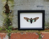 Framed Insect Real Cicada Tosena splendida natural history