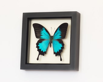 Real Framed Butterfly Papilio Ulysses Blue Insect Taxidermy Gallery Frame