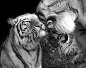 Tiger Love Photo No. 2 - 8x10 Black and White Animal Nature Wildlife Photo Print - Gift for Him or Her Under 20