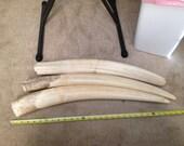 "Reserved for  joe saggio 3 Premium quality Large 27"" walrus tusk. Male. Alaska alaskan scrimshaw ivory."