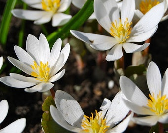 20 bloodroot root systems (Sanguinaria canadensis)