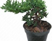 Japanese Dwarf Juniper - Pre Bonsai - Juniperus Procumbens Nana