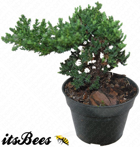 japanese dwarf juniper pre bonsai juniperus procumbens. Black Bedroom Furniture Sets. Home Design Ideas