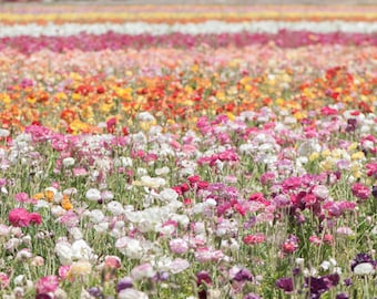 Ranunculus Photography -  Flower Field, Floral Photography, Nature Fine Art Photograph, Wall Decor