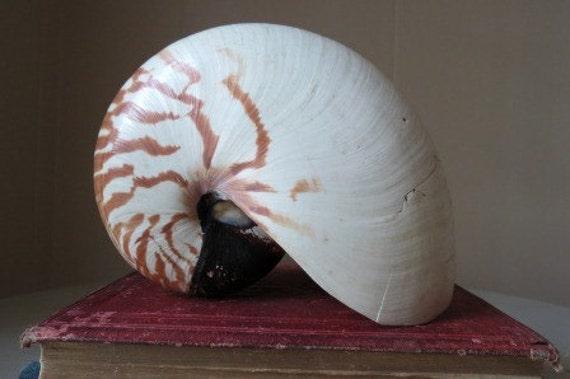 Vintage Natural Nautilus Sea Shell