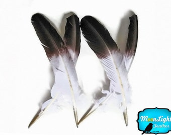 "Eagle Feathers, 6 Pieces - WHITE Tom Turkey Rounds ""Eagle"" Brown Tipped Secondary Wing Feathers : 2150"