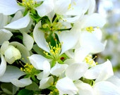 Spring White Flowers Blooms Star Shaped Petals Blossum Nature Floral Rustic Cabin Lodge Photography