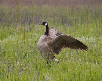 Animal Photography, Canada Goose, Bird Print, Bird Art Photography, Nature Photography, Wall Art, Fine Art Photography