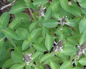 Holy Basil (Tulsi) Seeds, Organically Grown Herb Seeds.