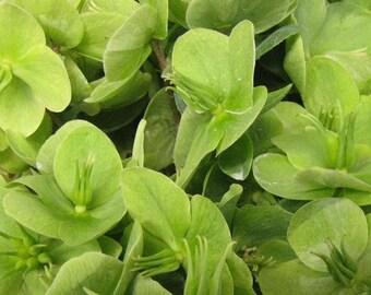 Bupleurum, Green Gold Bupleurum Seeds - Gorgeous and Rare Cutting Flower