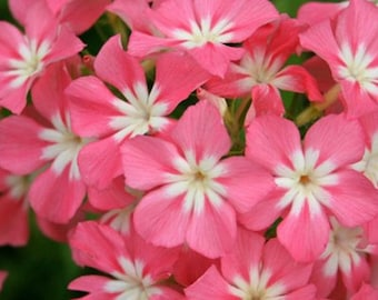 Phlox, Drummondii Mix Phlox Seeds
