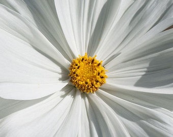 Cosmos, Little Princess White Cosmos Seeds - Perfectly Petite Dwarf White Plants Daisy Look-a-Like
