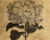 INSTANT DOWNLOAD - Hydrangea Flower Vintage Illustration - Download and Print - Image Transfer - Digital Sheet by Room29 - Sheet no. 878
