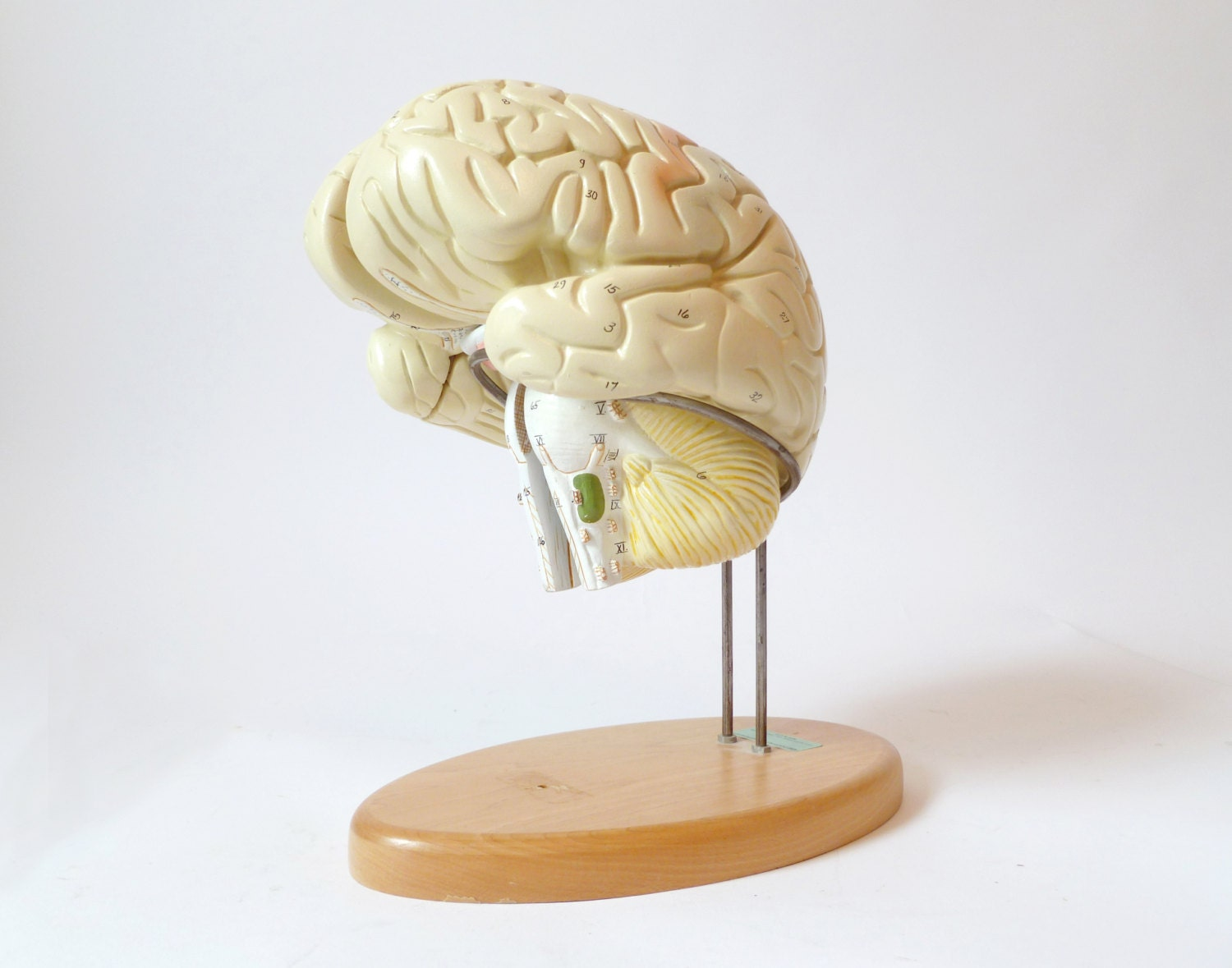 Vintage Denoyer Geppert Model of Human Brain ... by cushionchicago