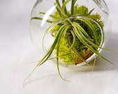 Super Mini and Super Cute Air Plant Terrarium