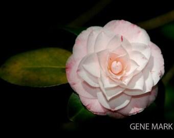 Fine Art Photography by Gene Mark - PINK CAMELIA 10 x 12