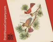 Bird, Vintage Cardinal Print, by Athos Menaboni, Natural history bird art, Ornithology